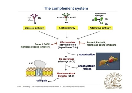 the human complement system